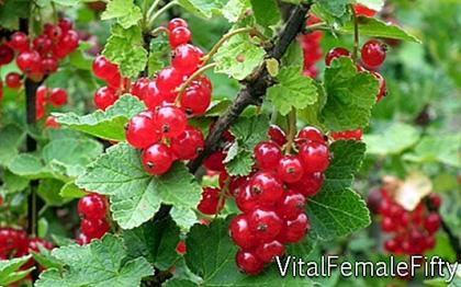 Currant cultivation