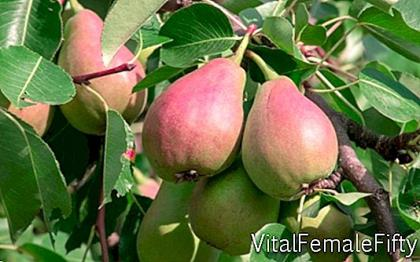 Pear cultivation
