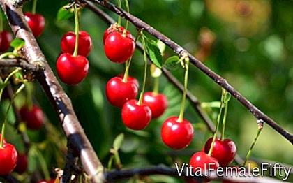 Vaccination of fruit trees