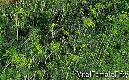 Cultivation of dill